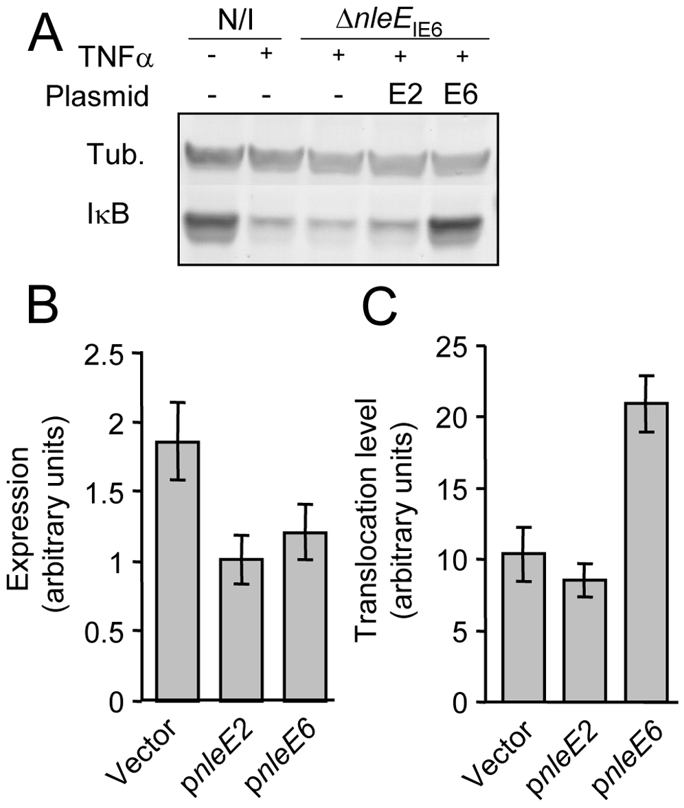NleE of IE2 is deficient in translocation and inhibition of IκB degradation.