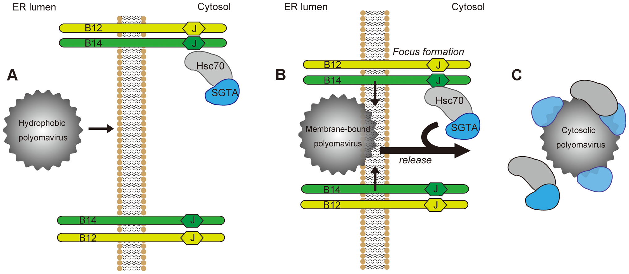 Model for ER-to-cytosol transport of polyomaviruses mediated by foci formation and cytosolic SGTA.