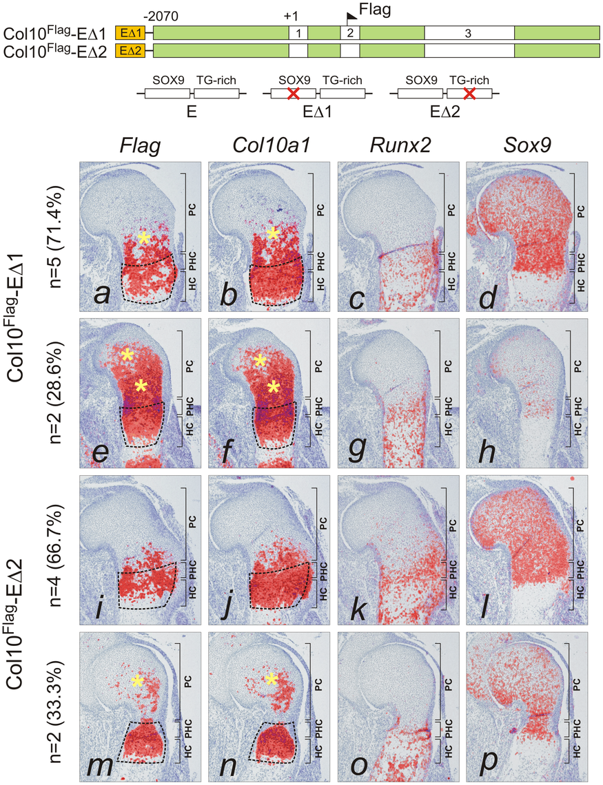 Mutation of SOX9 binding consensus results in derepression of <i>Col10a1</i> transgene expression <i>in vivo</i>.
