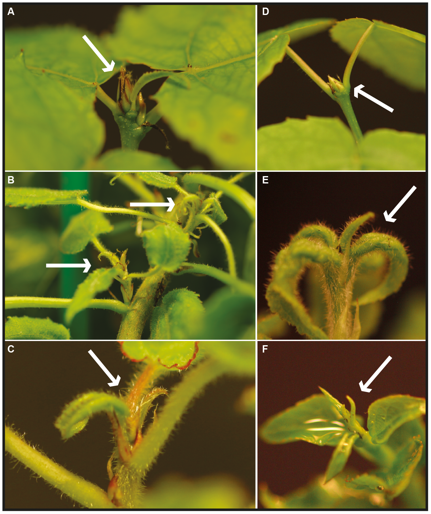 Bud formation in wild type, <i>AIL1</i> (<i>AIL1</i>oe), and <i>AIL3</i> (<i>AIL3</i>oe) overexpressing transgenic hybrid aspen plants after 6 weeks in short days.