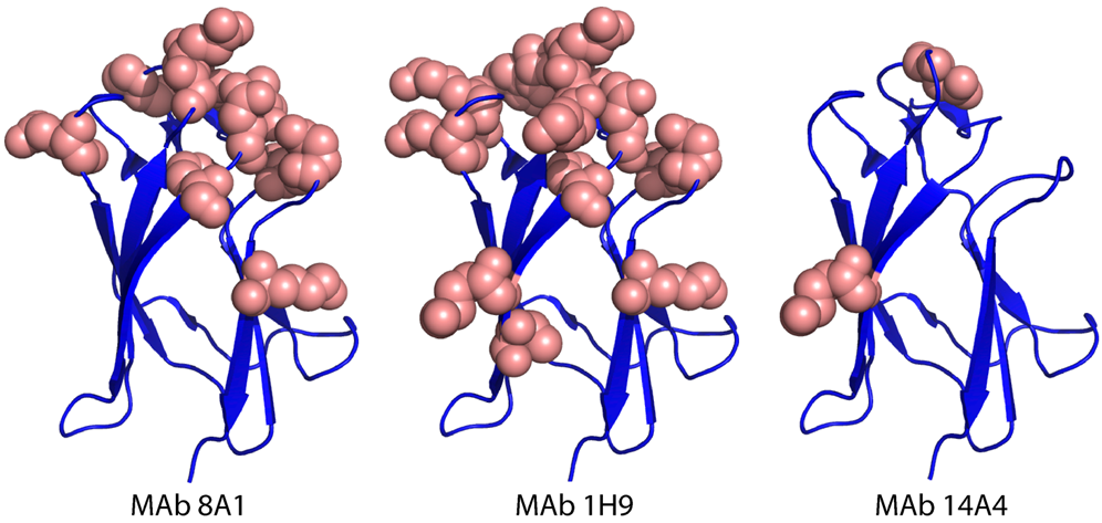 Mapping EDIII epitopes for MAbs 8A1, 1H9 and 14A4.