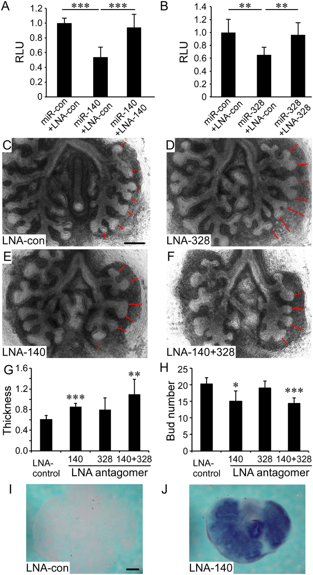 MiR-140 and miR-328 regulate <i>in vitro</i> lung development and <i>Fgf9</i> expression.
