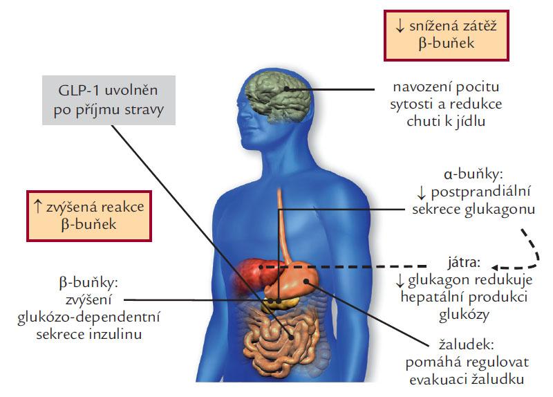 GLP-1 fyziologické účinky: glukoregulační role inkretinů.