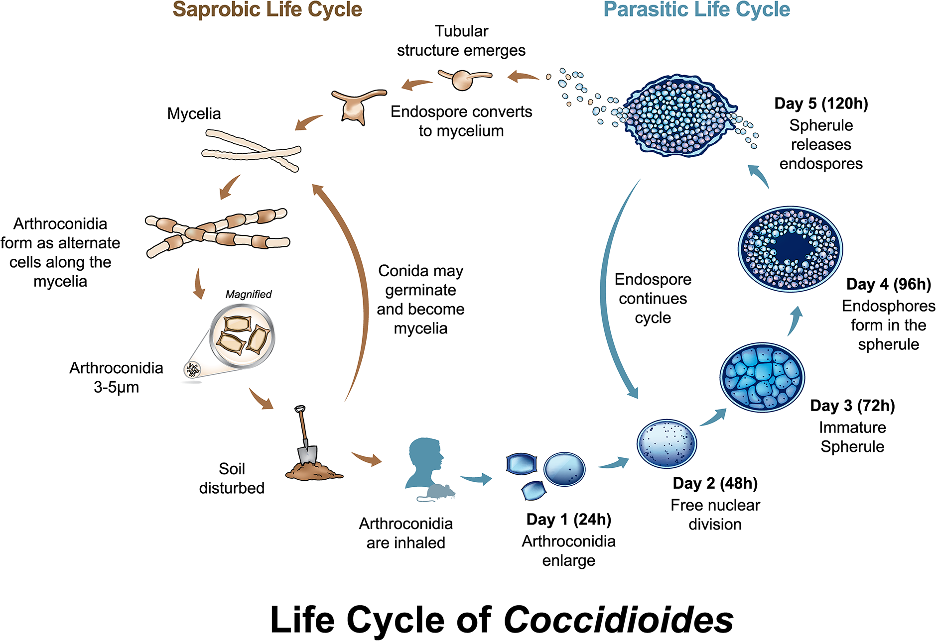 Life cycle of <i>Coccidioides</i>.