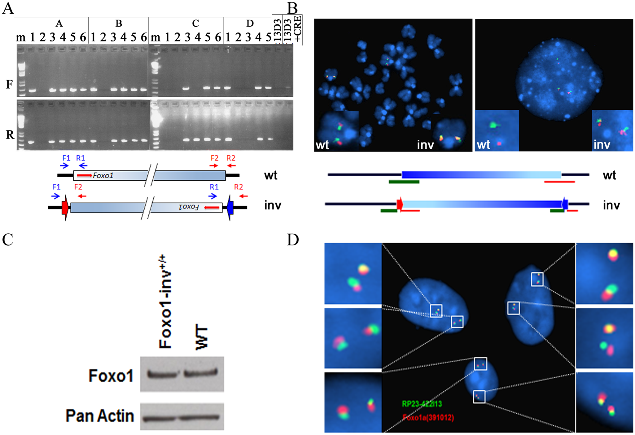 Analyses of inversion of the 4.9Mb syntenic region in double targeted ES cells.