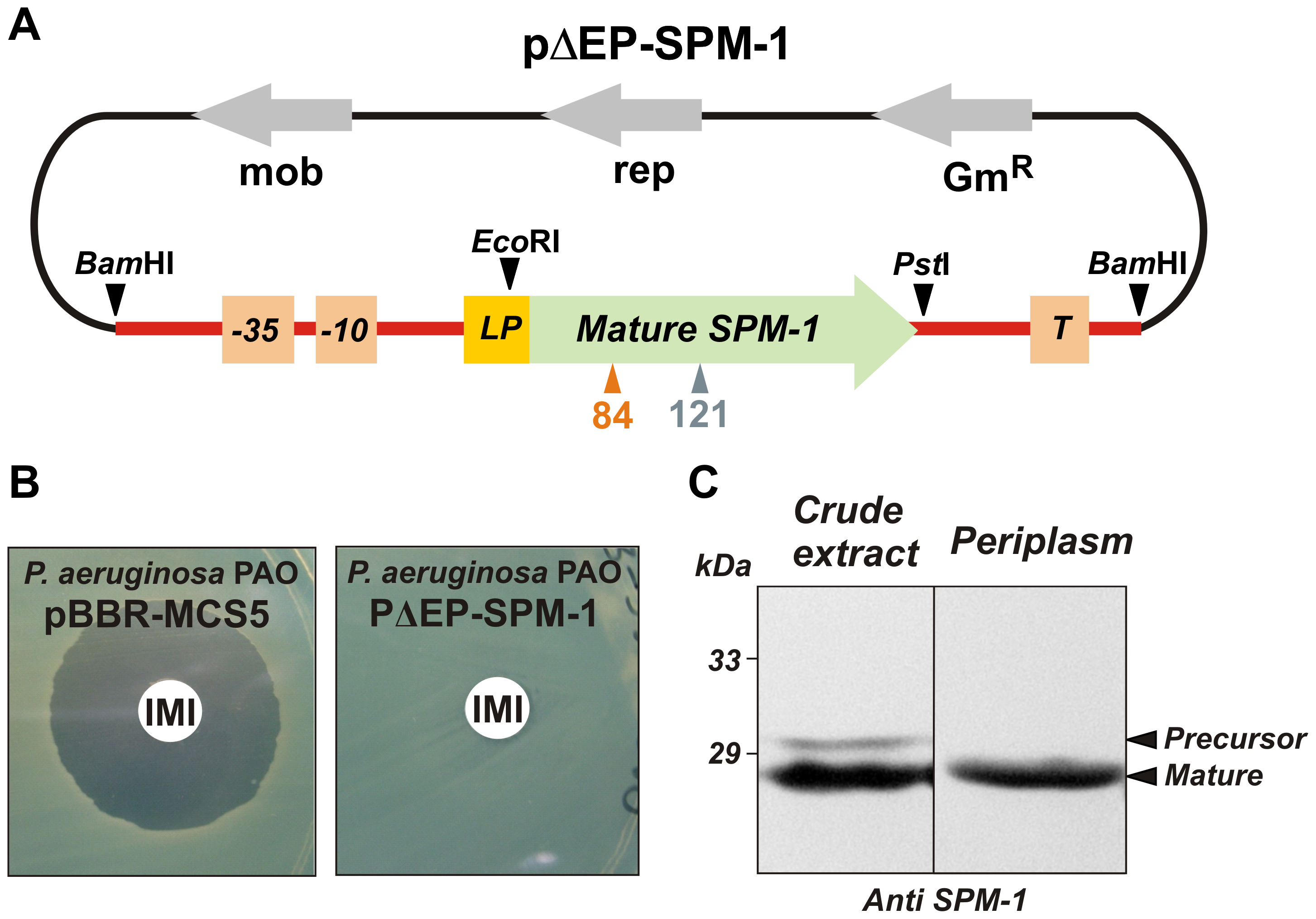 (A) Plasmid pΔEP-SPM-1, showing the transcriptional unit (UT <i>bla</i><sub>SPM-1</sub> in red) harboring gene <i>bla</i><sub>SPM-1</sub>.