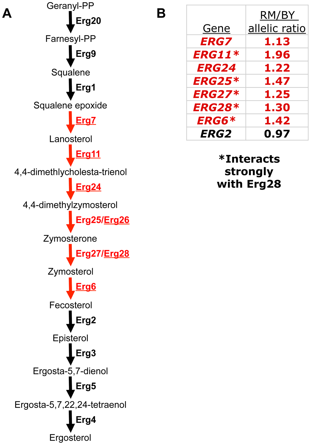 A polygenic gene expression adaptation in the ergosterol biosynthesis (ERG) pathway.