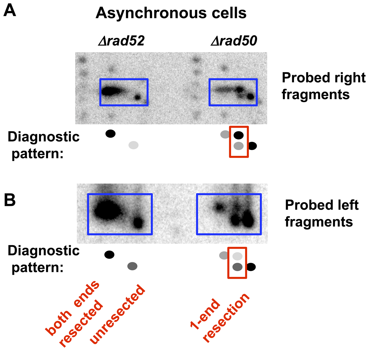 Resection at an I-<i>Sce</i>I-induced DSB in growing (asynchronous) <i>Δrad52</i> and <i>Δrad50</i> cells.