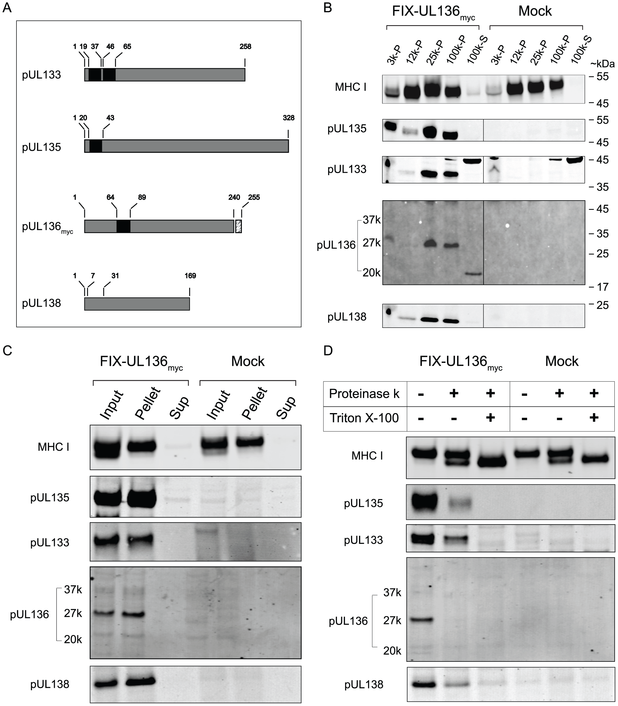 pUL133, pUL135, and pUL136 are integral membrane proteins associated with microsomal membranes.