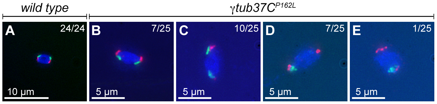 At metaphase I chromosomes congress randomly in <i>γtub37C<sup>P162L</sup></i> mutant oocytes.