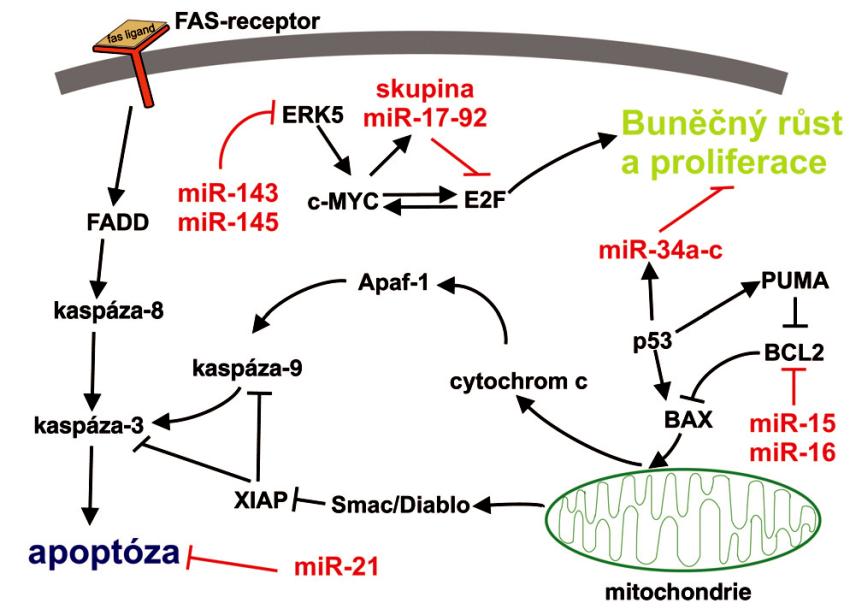 Zapojení vybraných miRNA do typických signálních apoptotických drah Apoptóza může být aktivována dvěmi hlavními cestami:  1) přes receptory smrti, neboli apoptóza vyvolaná tzv. vnějšími signály, kdy je nejdříve aktivována kaspáza-8 a následuje postupná aktivace dalších kaspáz, které provedou proteolýzu buněčných struktur. V těchto drahách hraje důležitou roli jako negativní regulátor miR-21;  2) apoptóza vyvolaná vnitřními signály, neboli mitochondiální cesta, kdy v buňce vznikají pomocí mitochondiálních faktorů, cytochromu-c, kaspáz a ATP tzv. apoptozómy, které se agregují v cytosolu a jsou postupně proteolyticky rozloženy kaspázami. Zde se uplatňují především miR-15, miR-16 a rodina miR-34a až c.