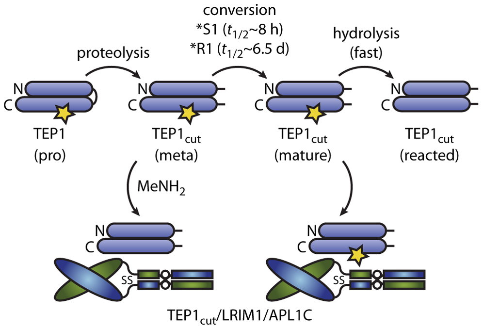 Conformational change and thioester reactions of TEP1*S1 and TEP1*R1 <i>in vitro</i>.