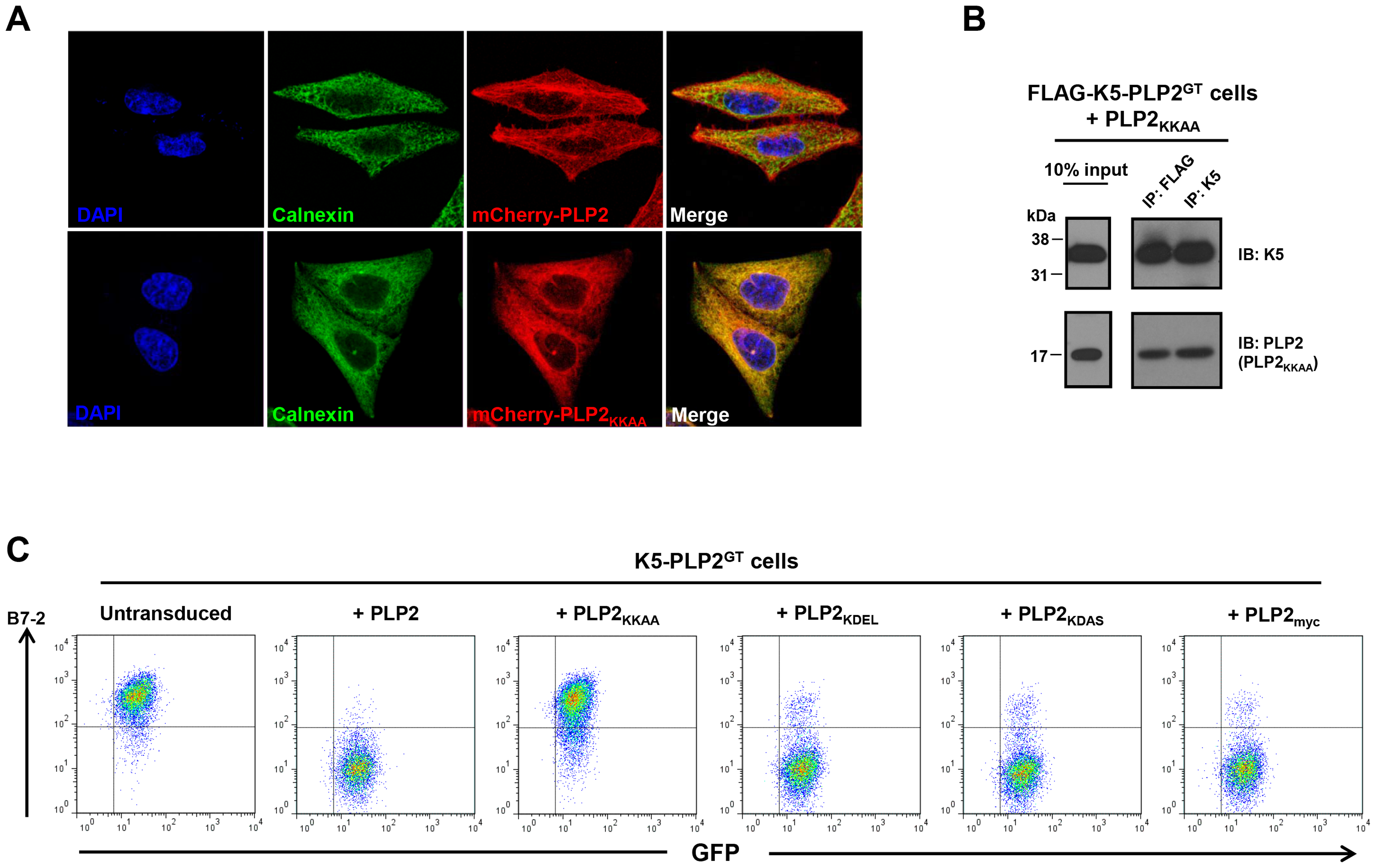 An ER-retained PLP2 mutant can still bind K5 but cannot support the K5-mediated downregulation of B7-2.