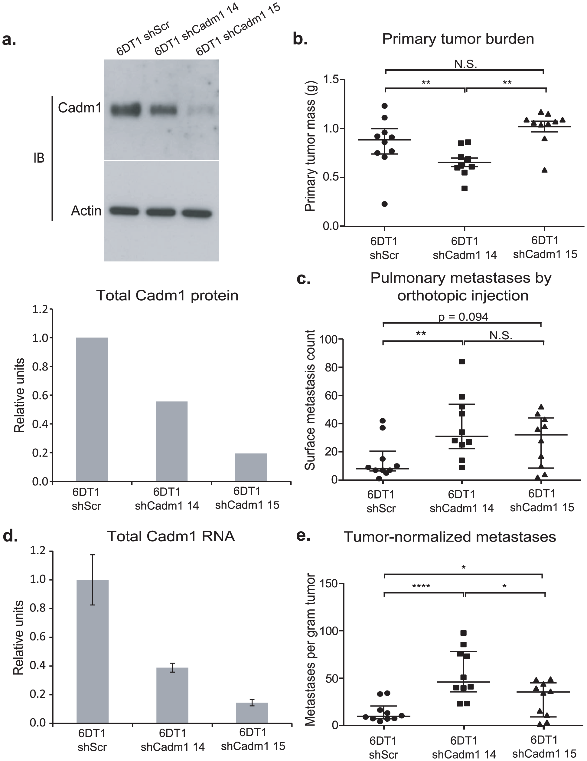 The effect of <i>Cadm1</i> knockdown on tumor growth and metastasis <i>in vivo</i>.