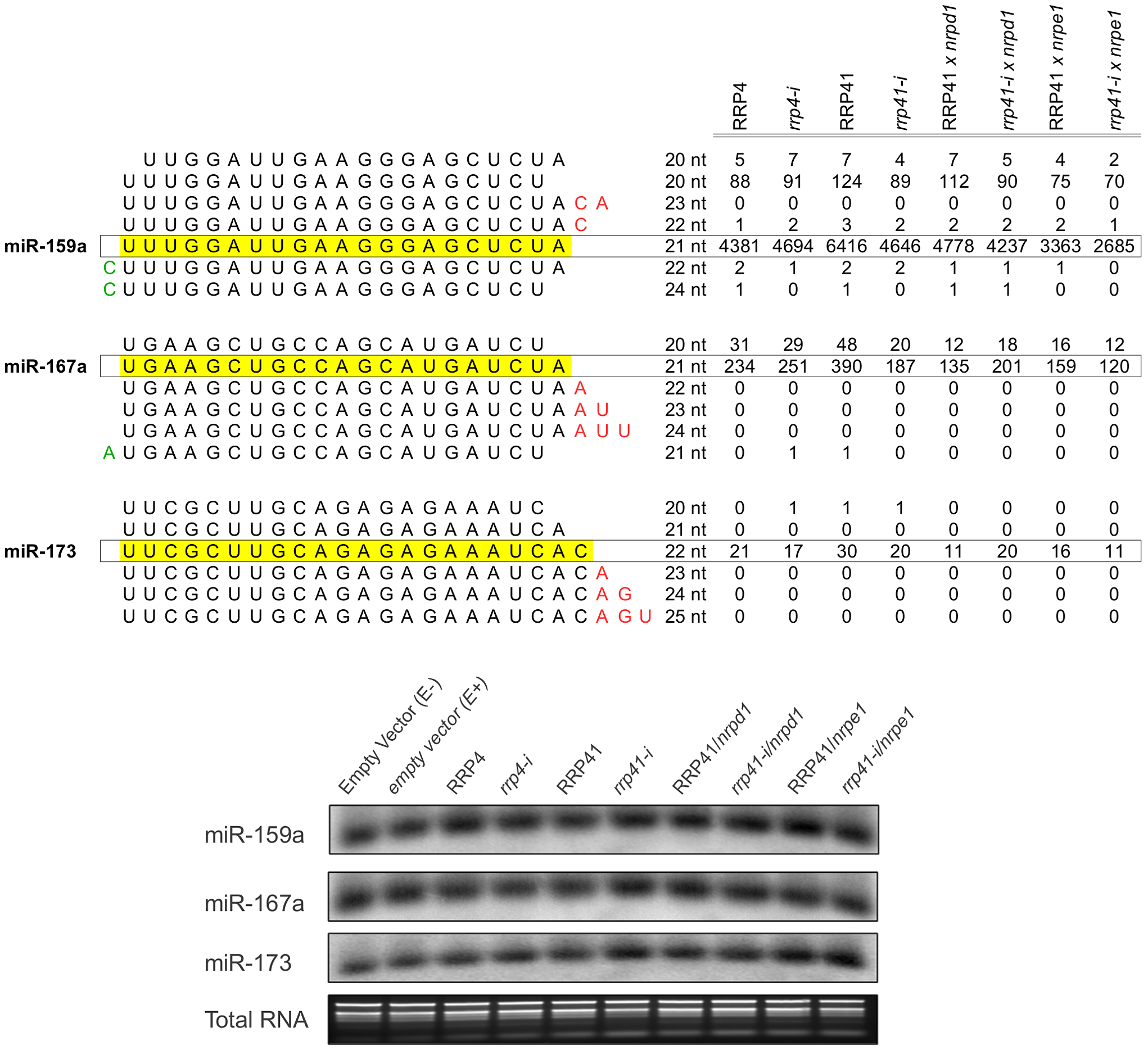Expression of miRNAs in exosome mutants.