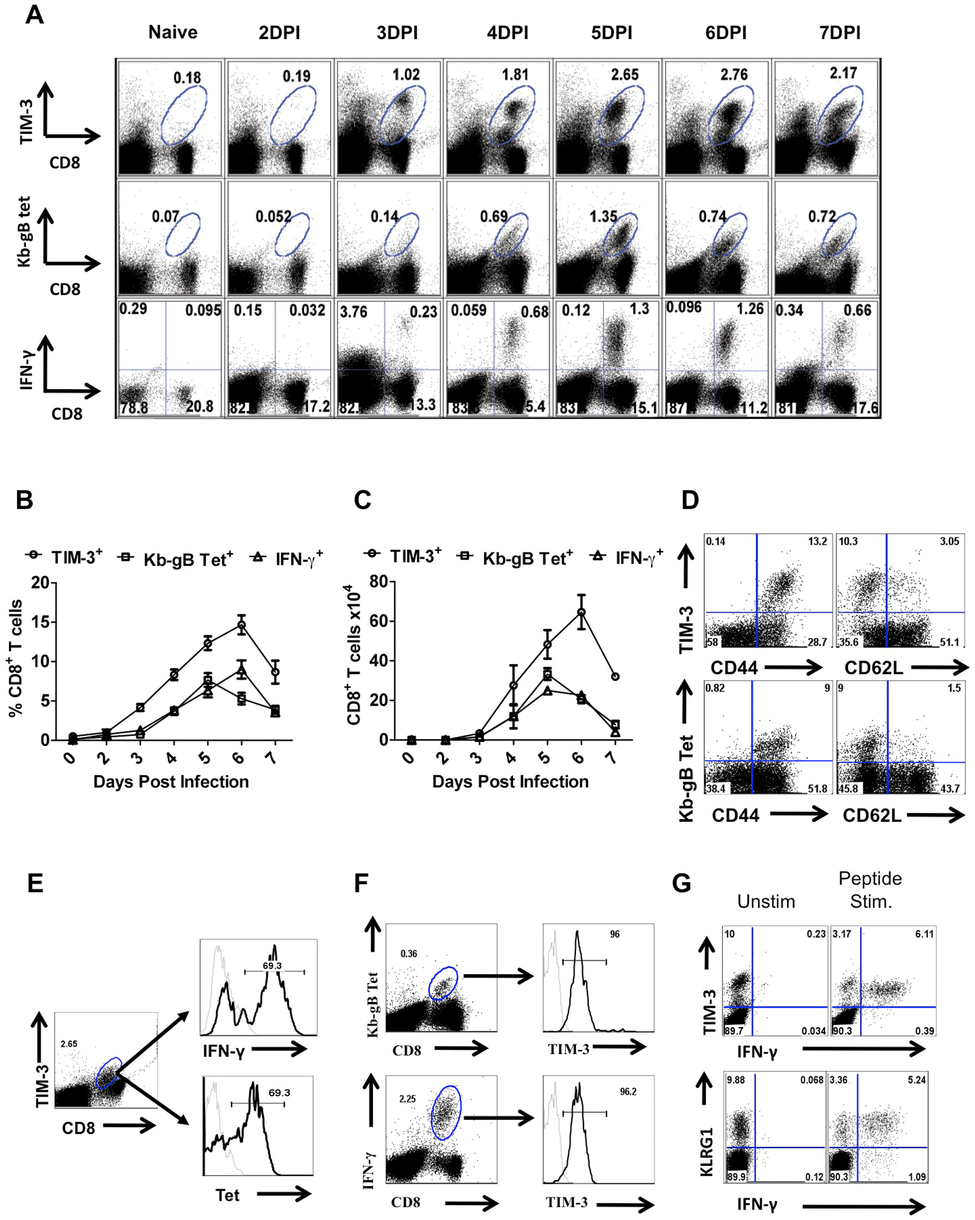 TIM-3 expression is up regulated on virus-specific CD8<sup>+</sup> T cells after HSV infection.