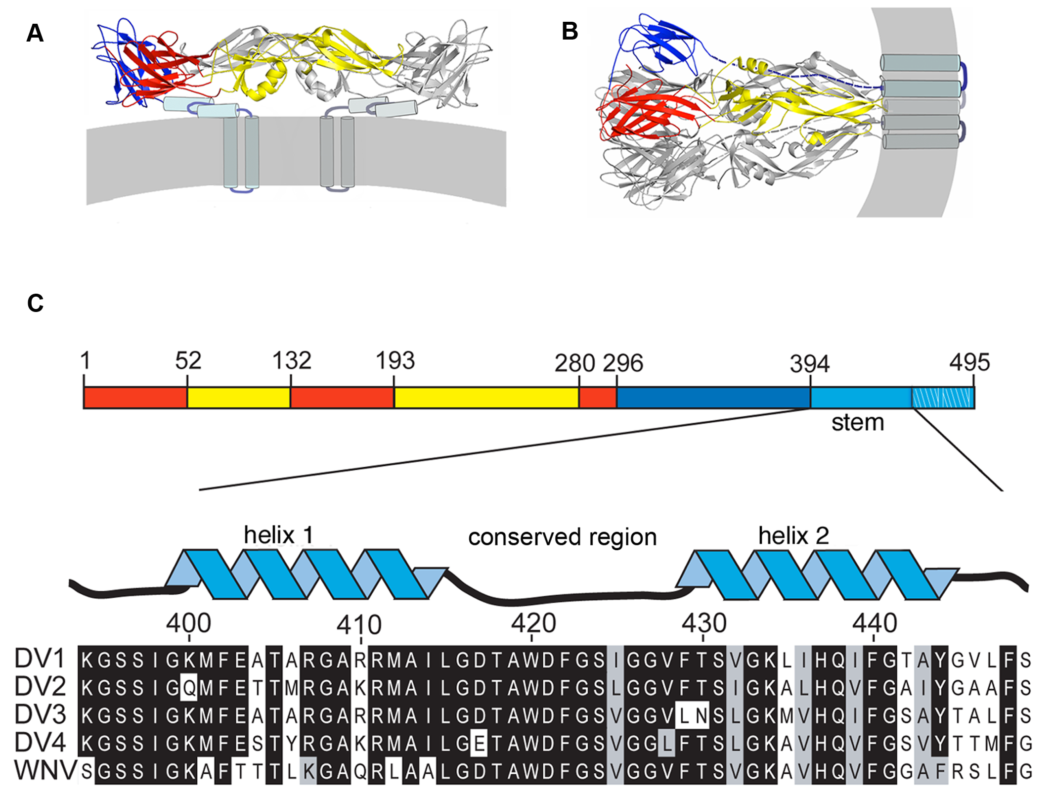 """Conformational states of the dengue virus E protein and sequences of the membrane-proximal """"stem""""."""