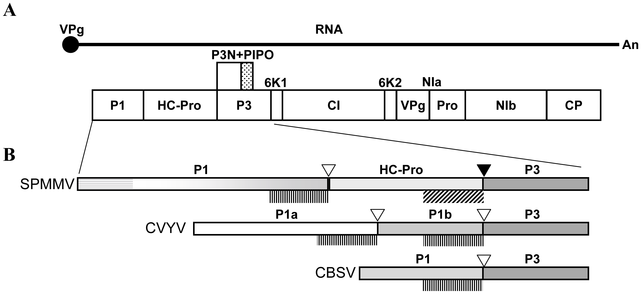 Genome structure of SPMMV ipomovirus and sequence peculiarities of the N-terminal part of its polyprotein which includes the P1 protein.