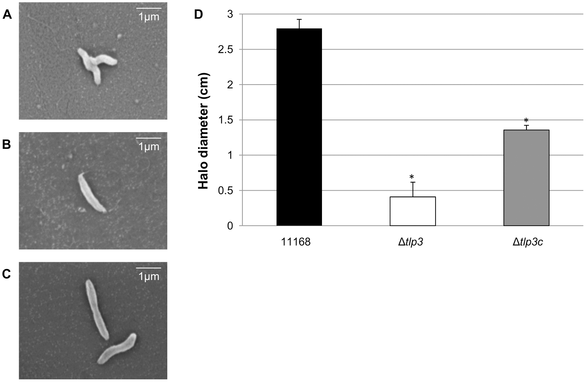 A <i>tlp3</i> mutant has altered morphology and defect in motility.