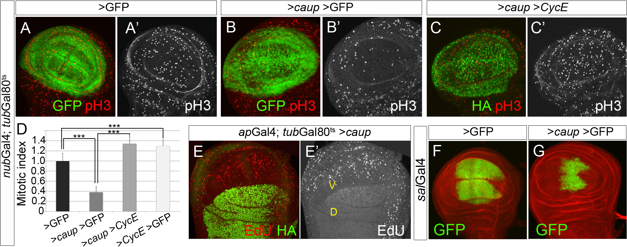 Over-expression of <i>caup</i> inhibits cell cycle progression.