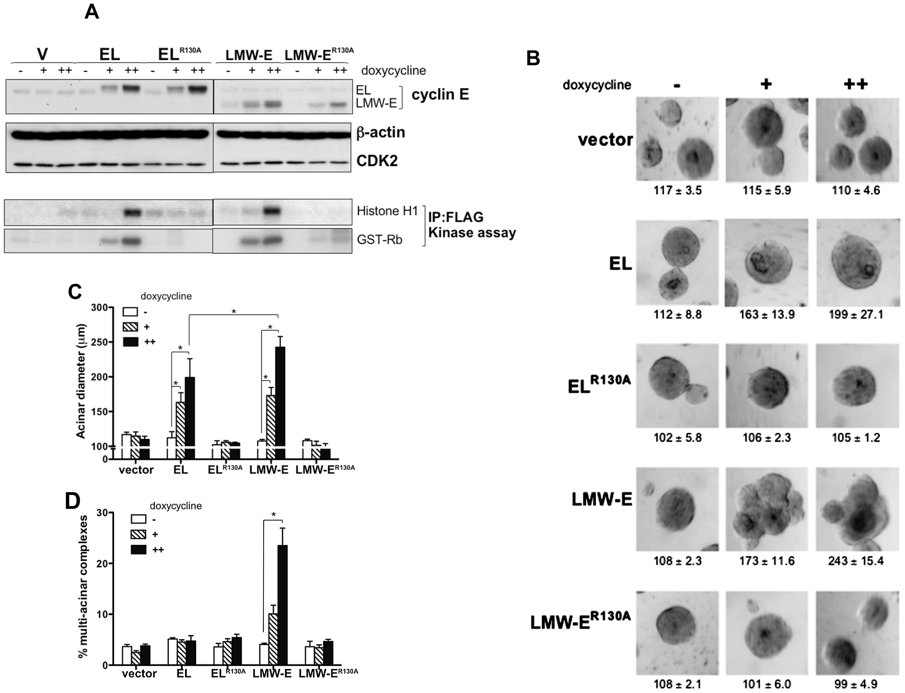 CDK2-associated kinase activity is required for LMW-E-mediated tumorigenesis and deregulation of acinar morphogenesis.