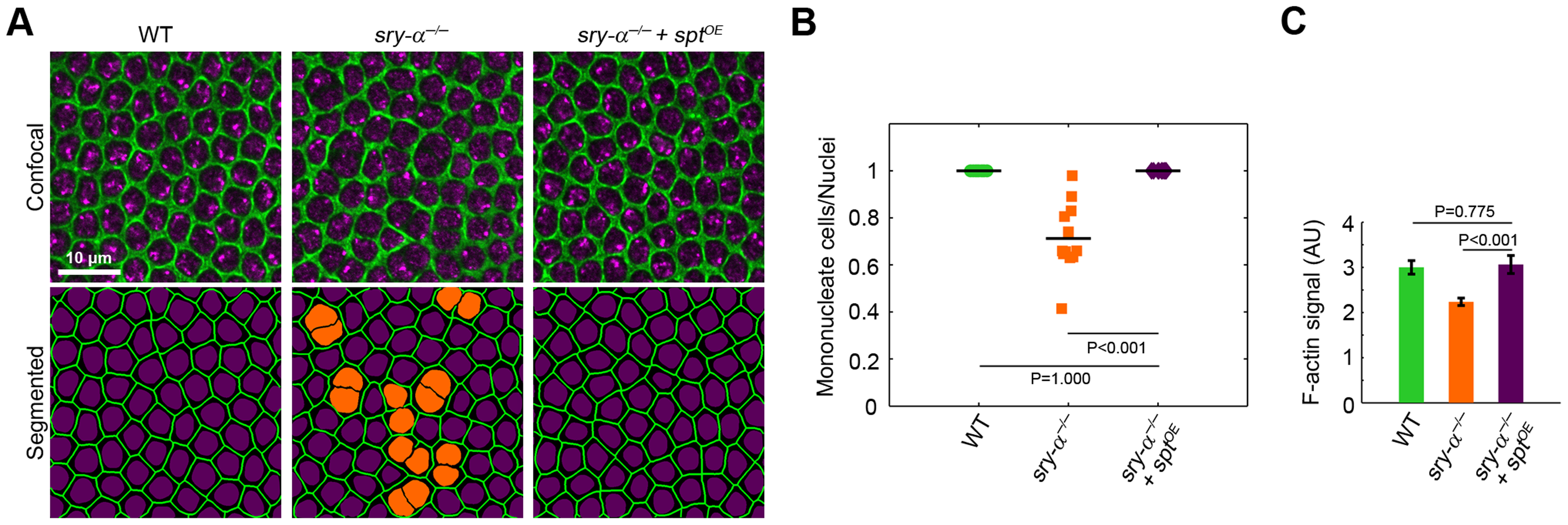 Sry-α and Spt share redundant function during cellularization.