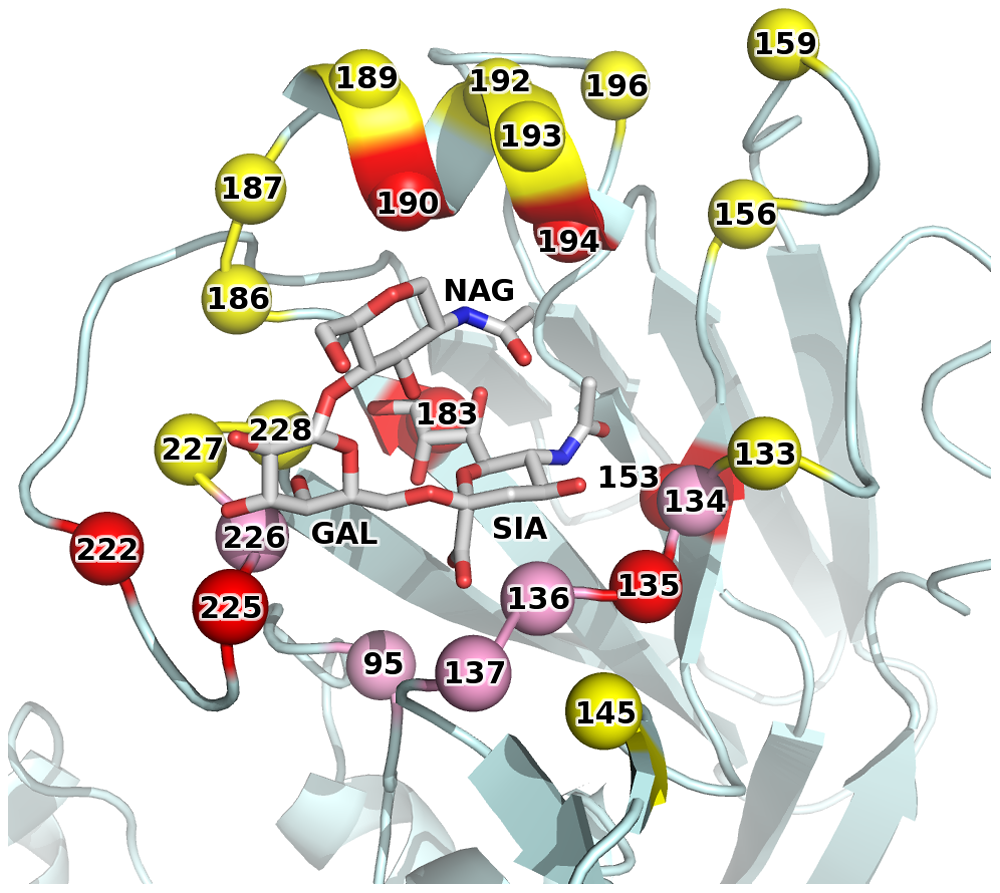 1F1 epitope overlaps the receptor binding site.