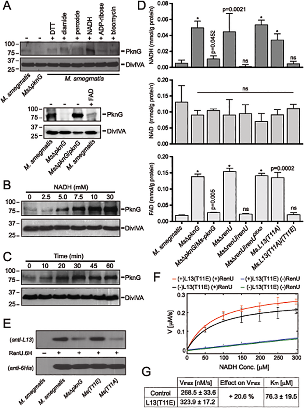Correlation of NADH and RHOCS, and role of L13 phosphorylation by PknG.