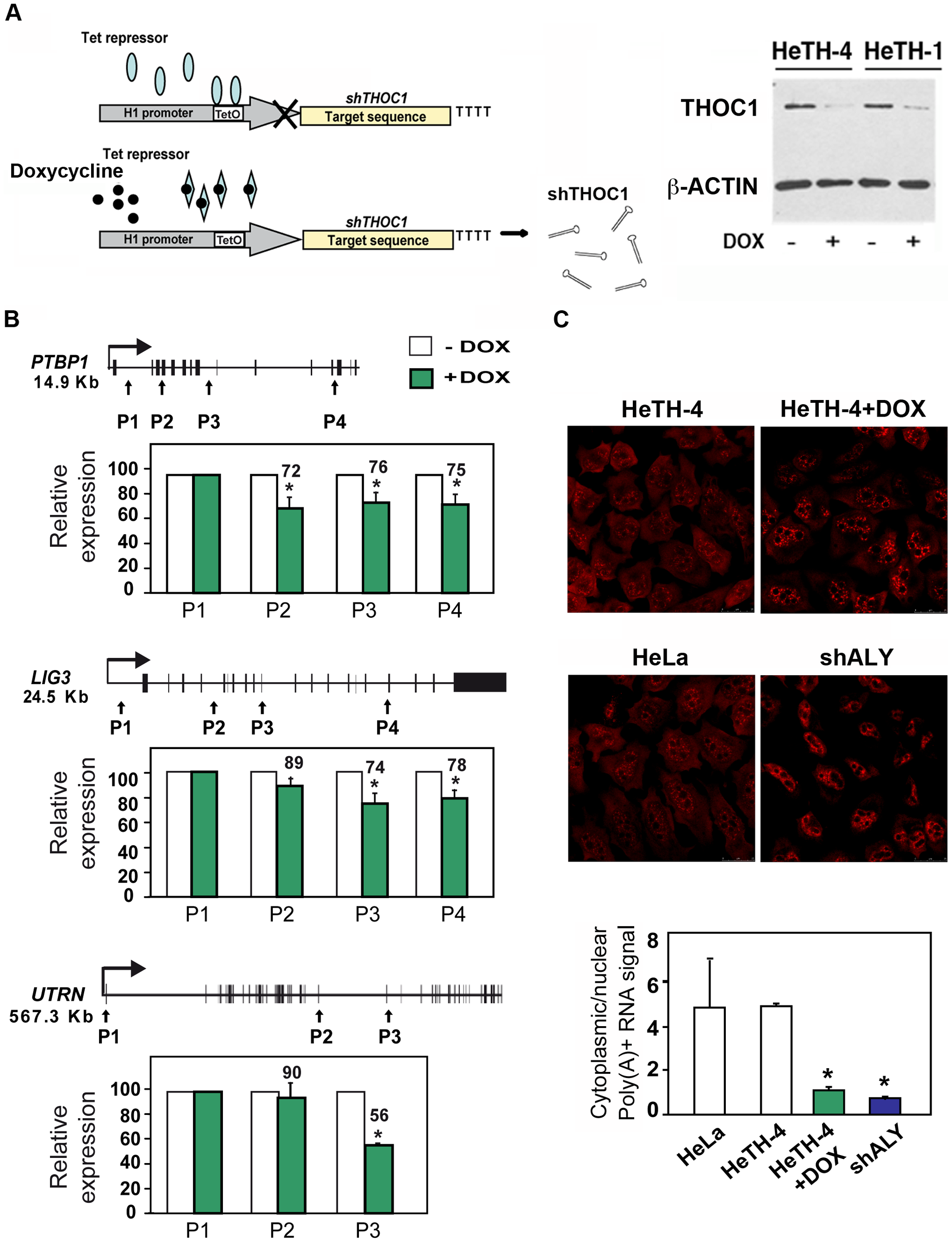 Gene expression defects in stable cell lines depleted of THOC1.