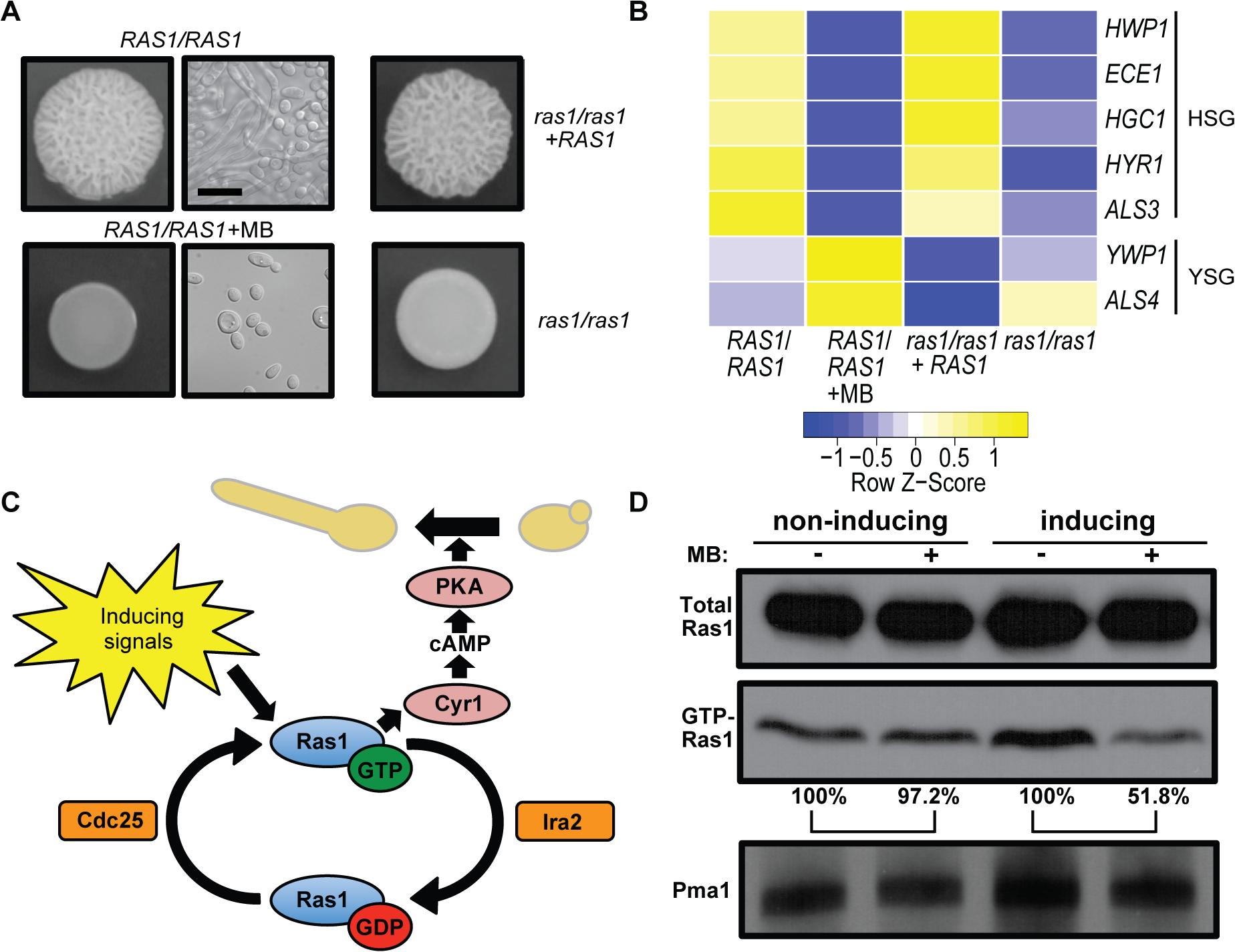 MB inhibits Ras1 activity and Ras1-dependent filamentation.