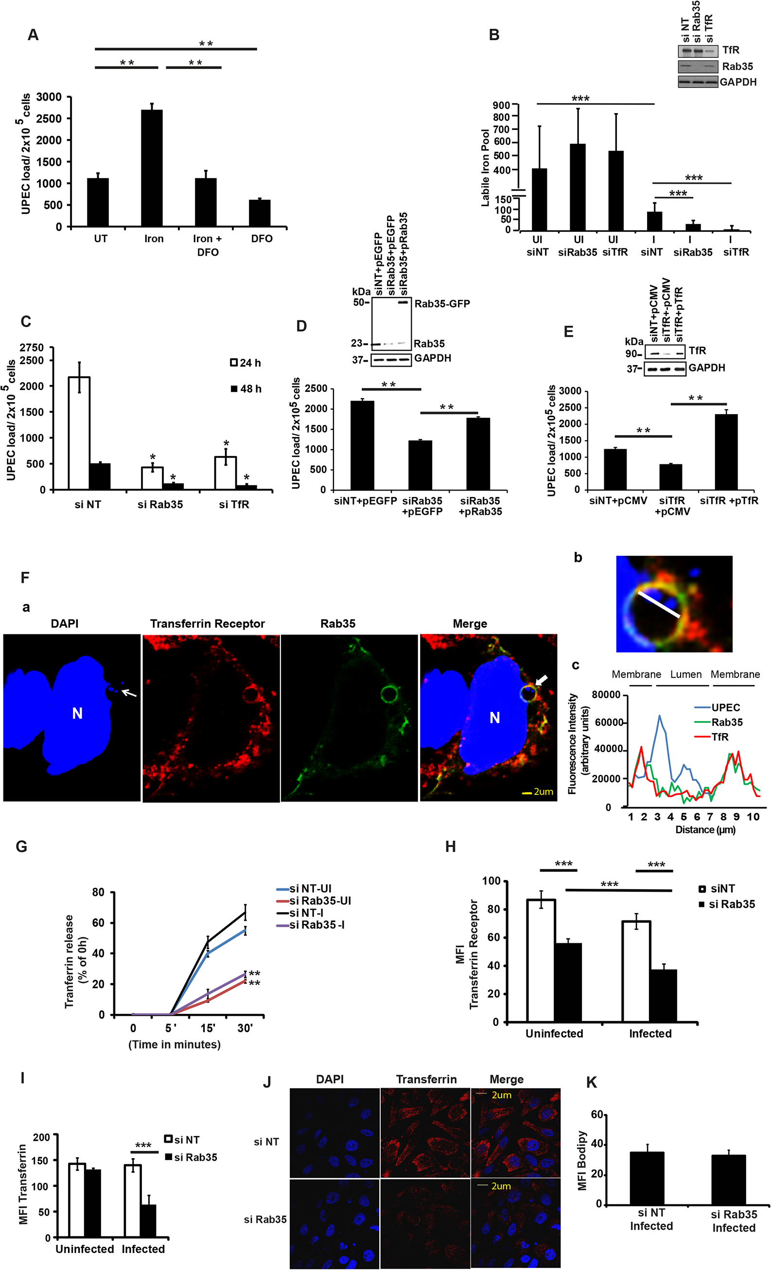 Iron acquisition <i>via</i> Rab35/transferrin receptor 1 pathway is critical for the intracellular survival of UPEC within BEC.