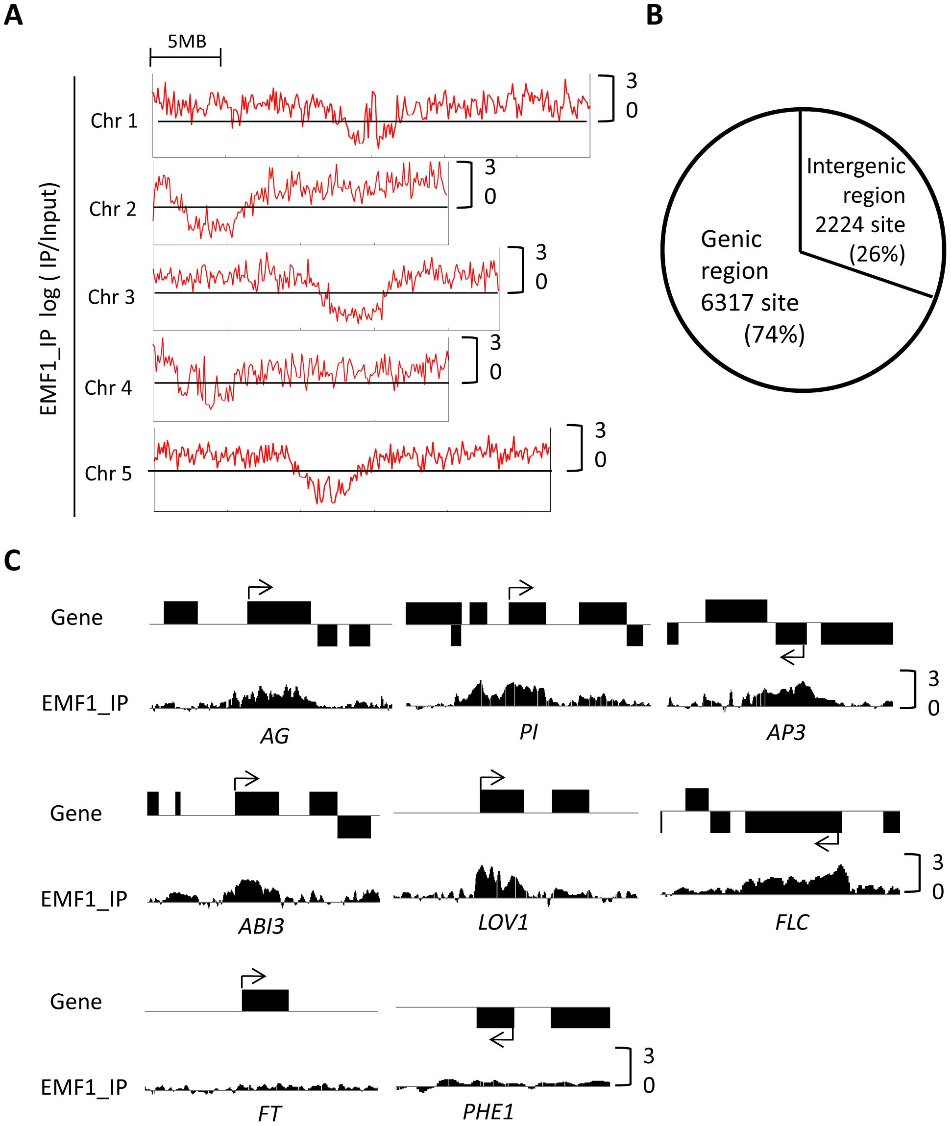 Genome-wide EMF1 binding map.