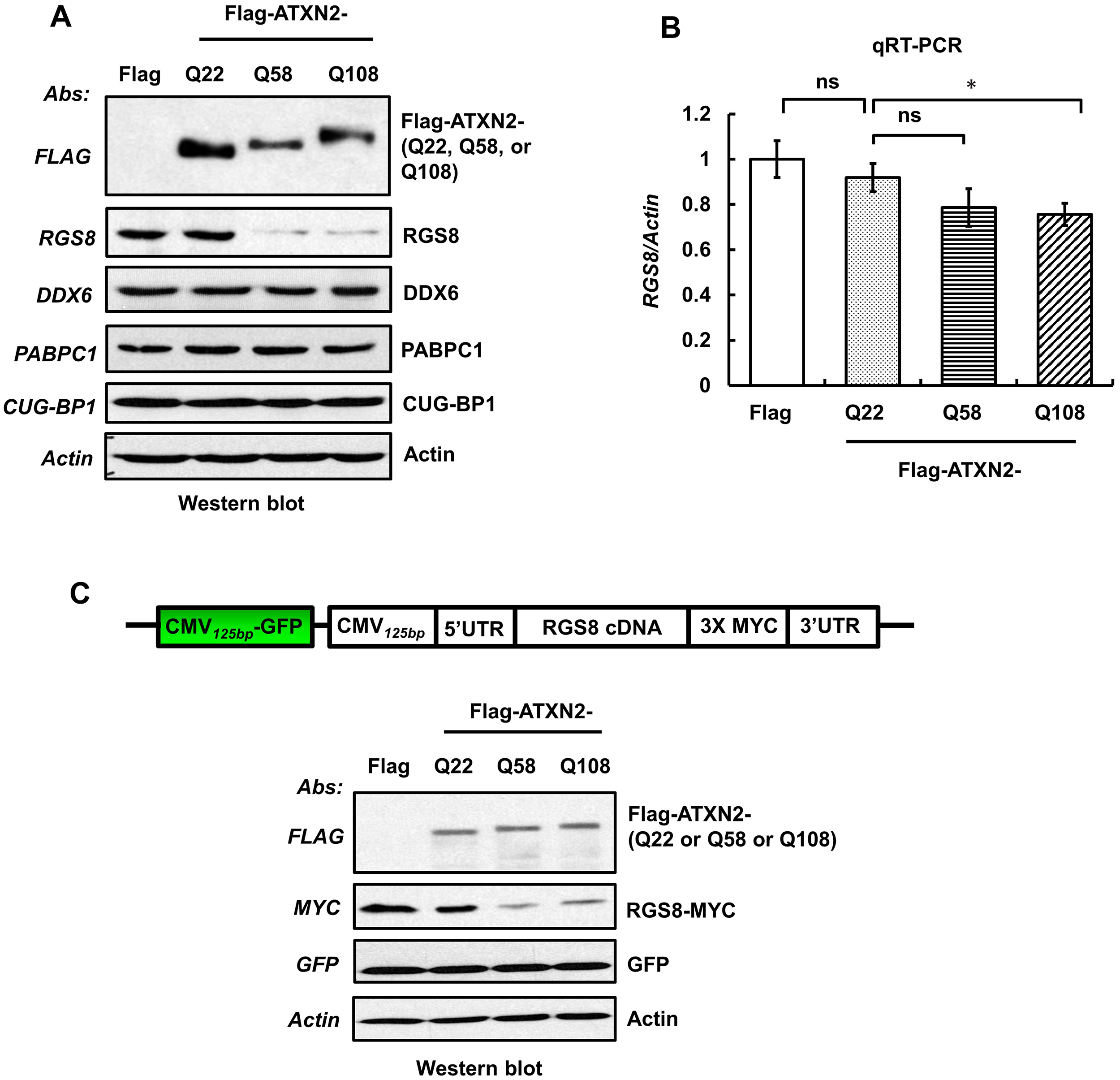 Overexpression of mutant ATXN2 in human SH-SY5Y cells recapitulates down-regulation of <i>in vivo</i> steady-state levels of Rgs8 in BAC-Q72 mice.