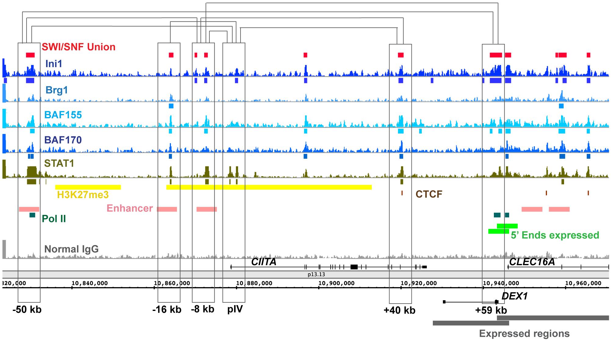 SWI/SNF signals relative to 3C (Chromosome Conformation Capture) sites in the <i>CIITA</i> locus.