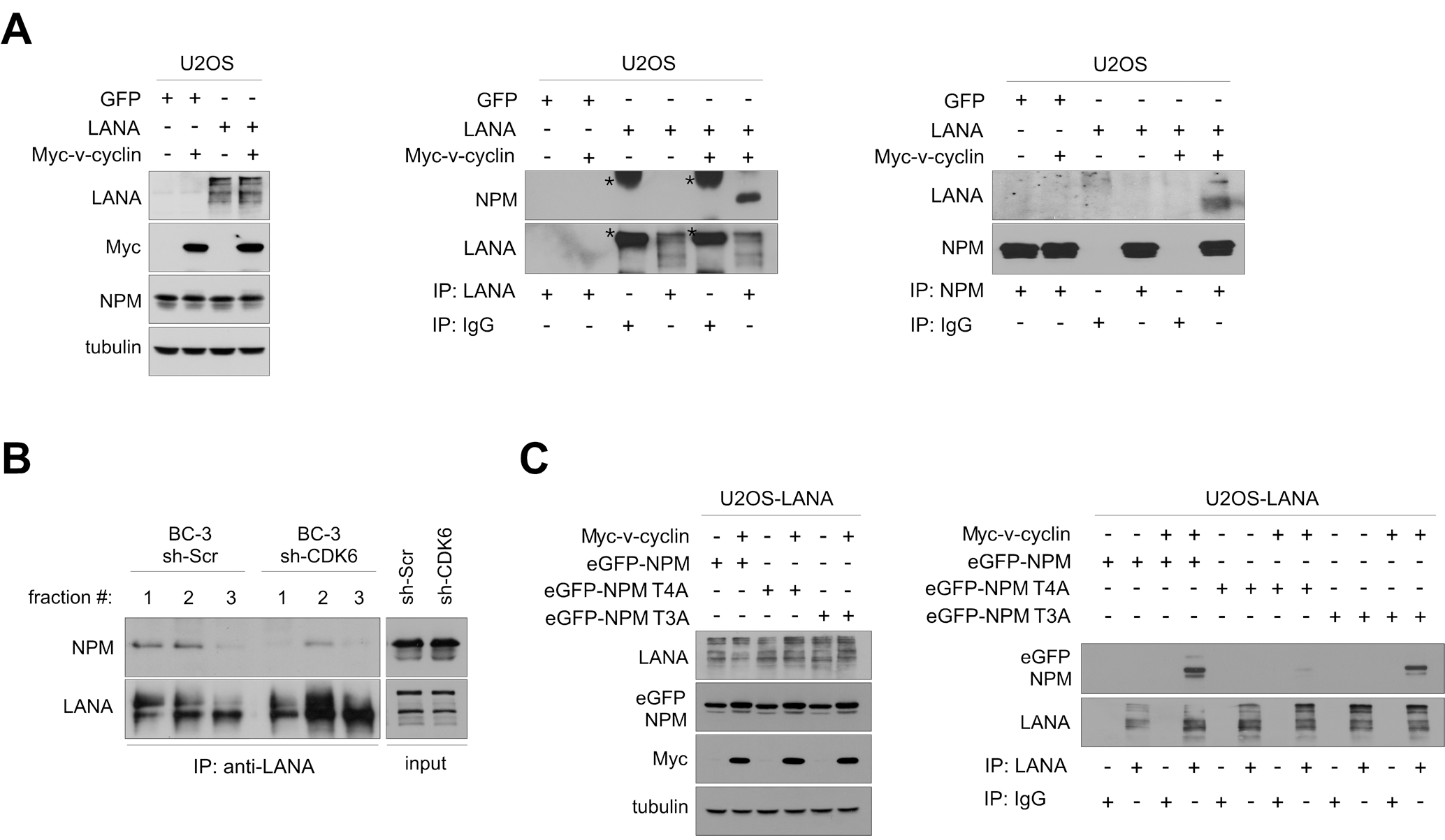 NPM interaction with LANA is dependent on Thr199 phosphorylation of NPM by v-cyclin-CDK6.