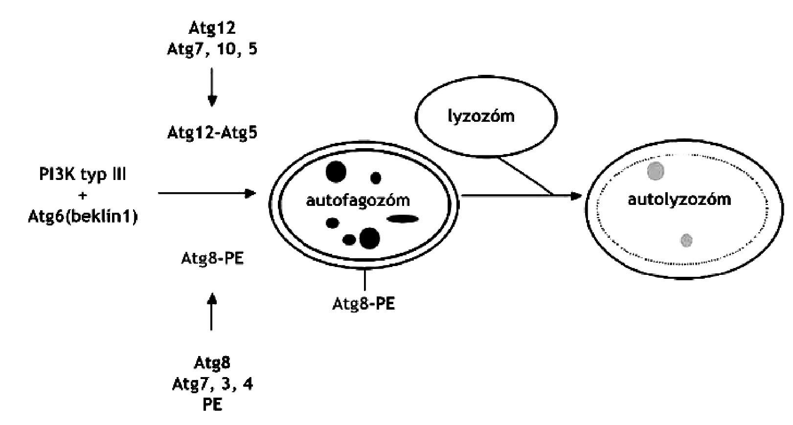 Regulácia vzniku autolyzozómu. PI3 kináza typu 3 vyžaduje Atg6 a jeden z dvoch systémov: Atg12 resp. Atg8 44) PE – fosfatidyletanolamín