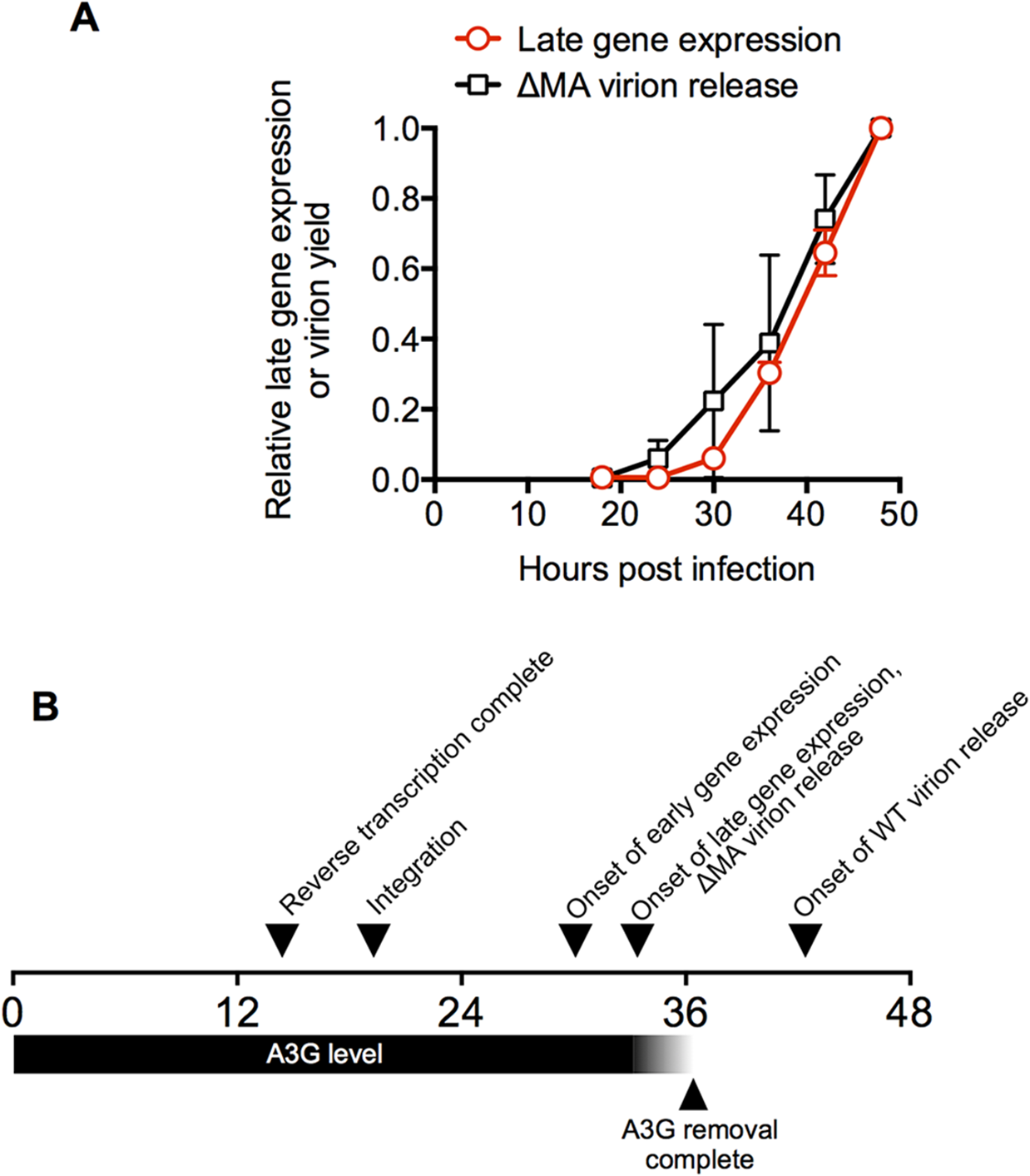 A time-line for a single cycle of HIV-1 replication in a typical cell.