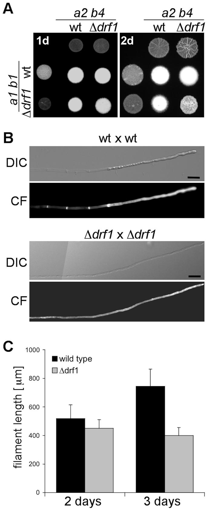 Filaments of <i>drf1</i> mutants do not form retraction septa.