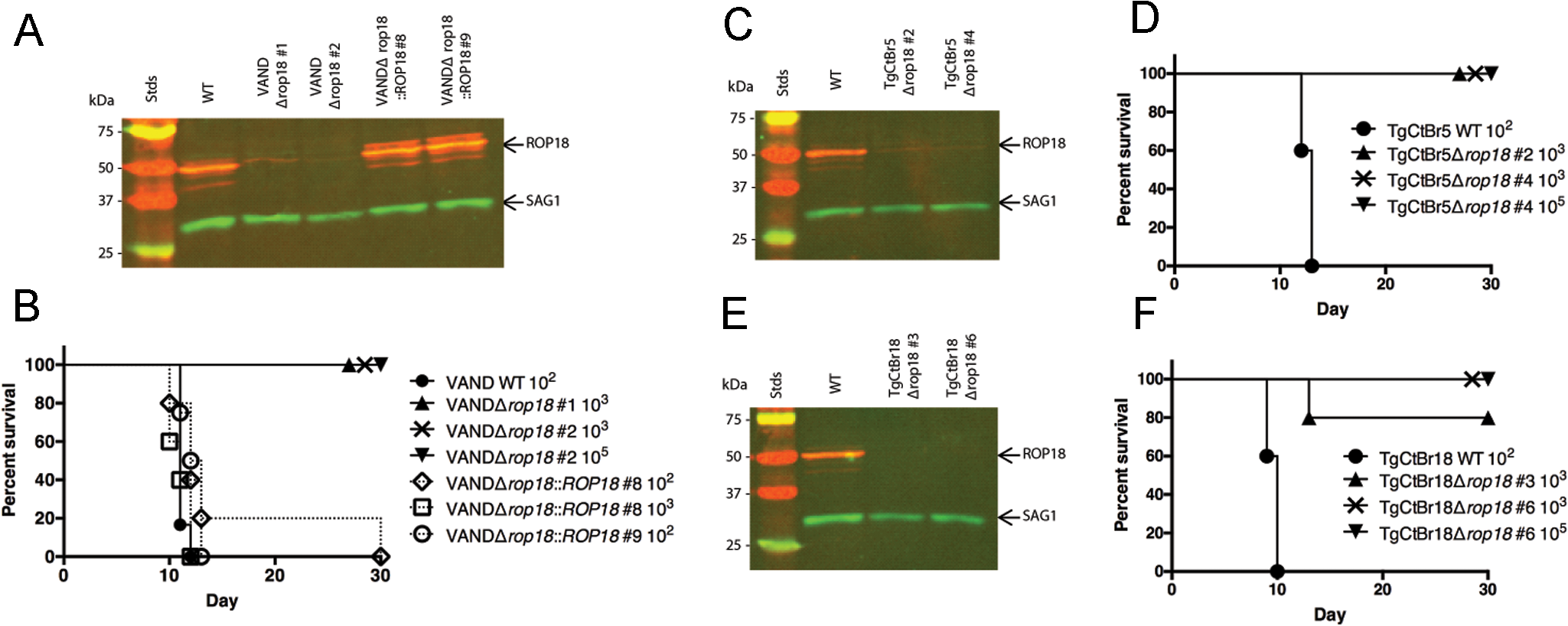 ROP18 is essential for virulence in South American strains VAND, TgCtBr5, and TgCtBr18.