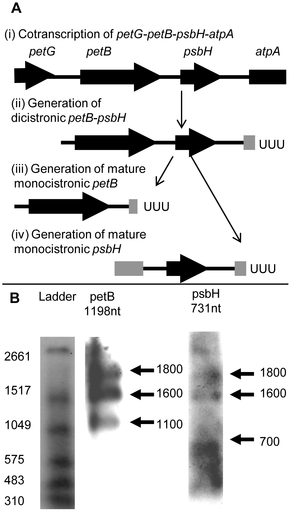 Processing of <i>Chromera velia</i> petB and psbH transcripts.