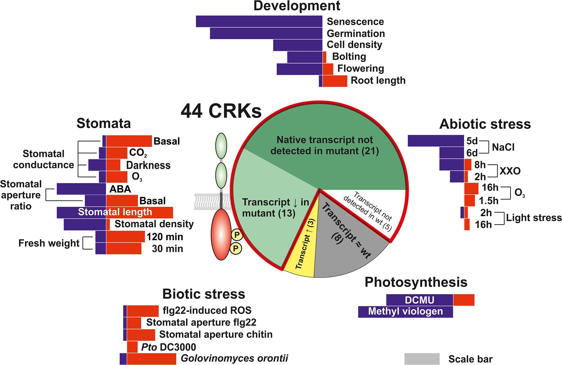 Phenotypic analysis of the <i>Arabidopsis thaliana</i> CRK protein family.