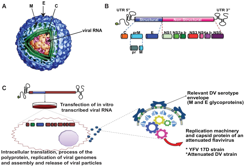 Dengue virus structure.