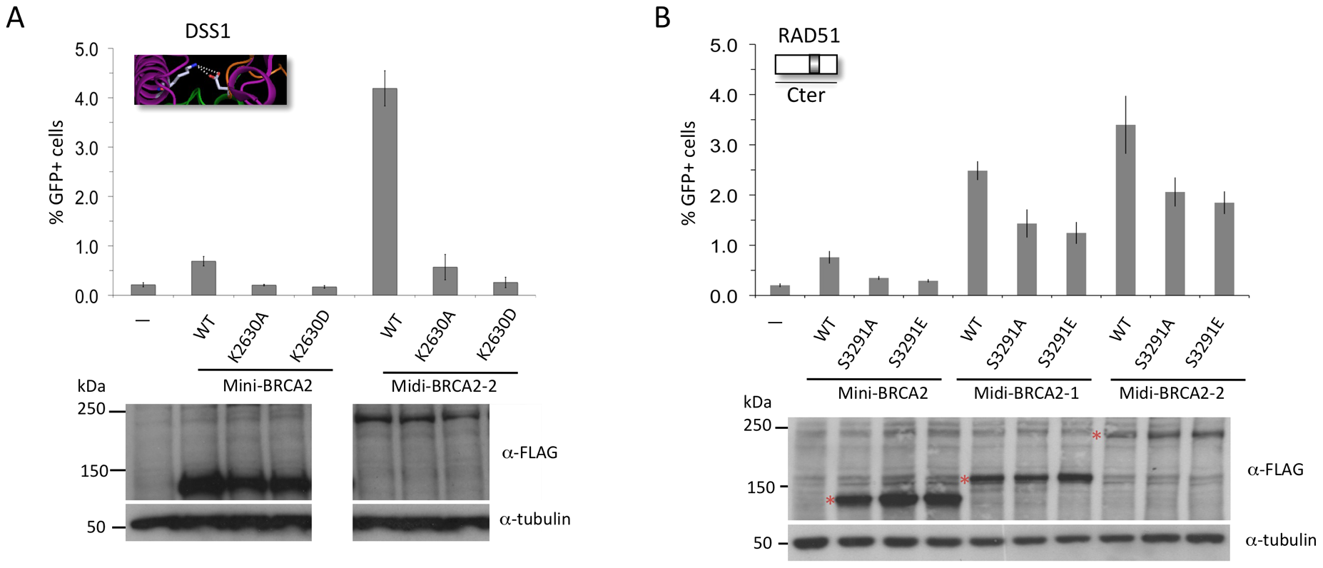 Interaction with PALB2 partially compensates for point mutations in the Cter that interfere with RAD51 binding, but cannot compensate for mutations that interfere with DSS1 binding.