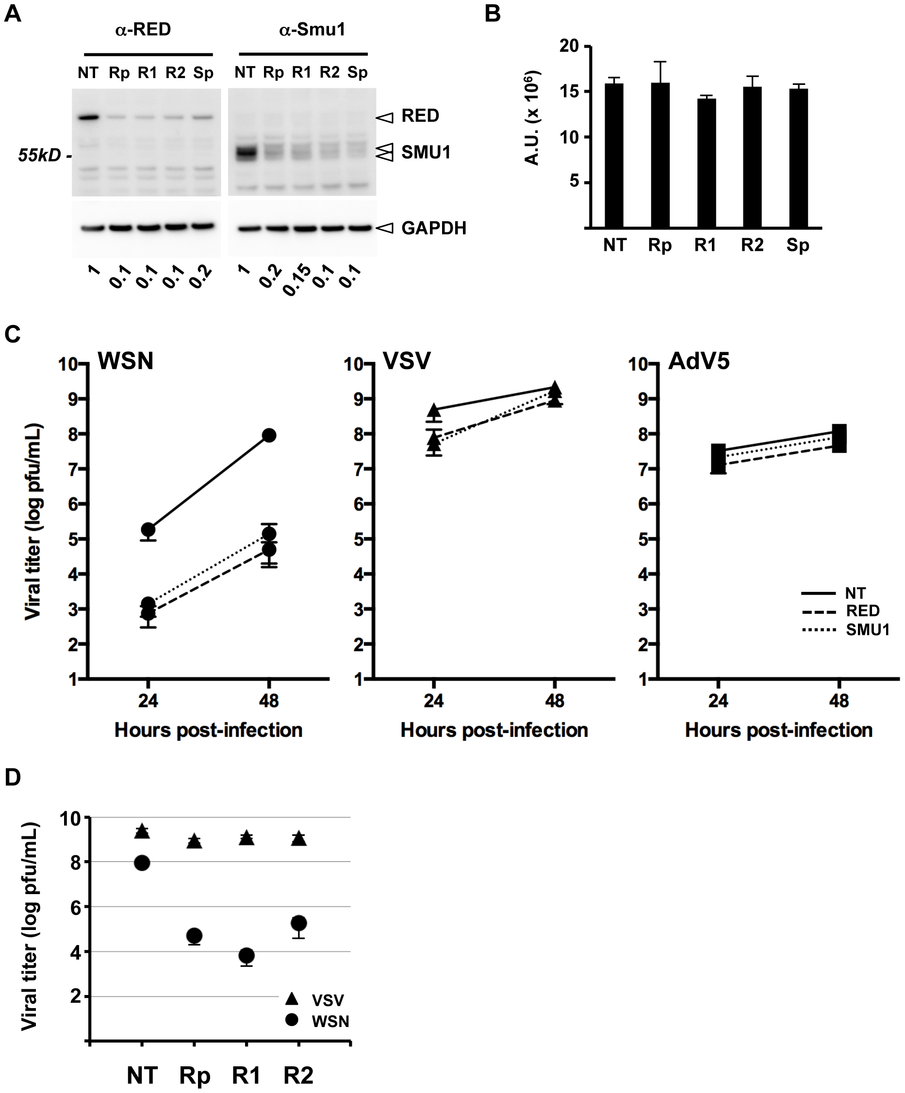 Effect of RED or SMU1 knock-down on influenza virus multicycle growth.