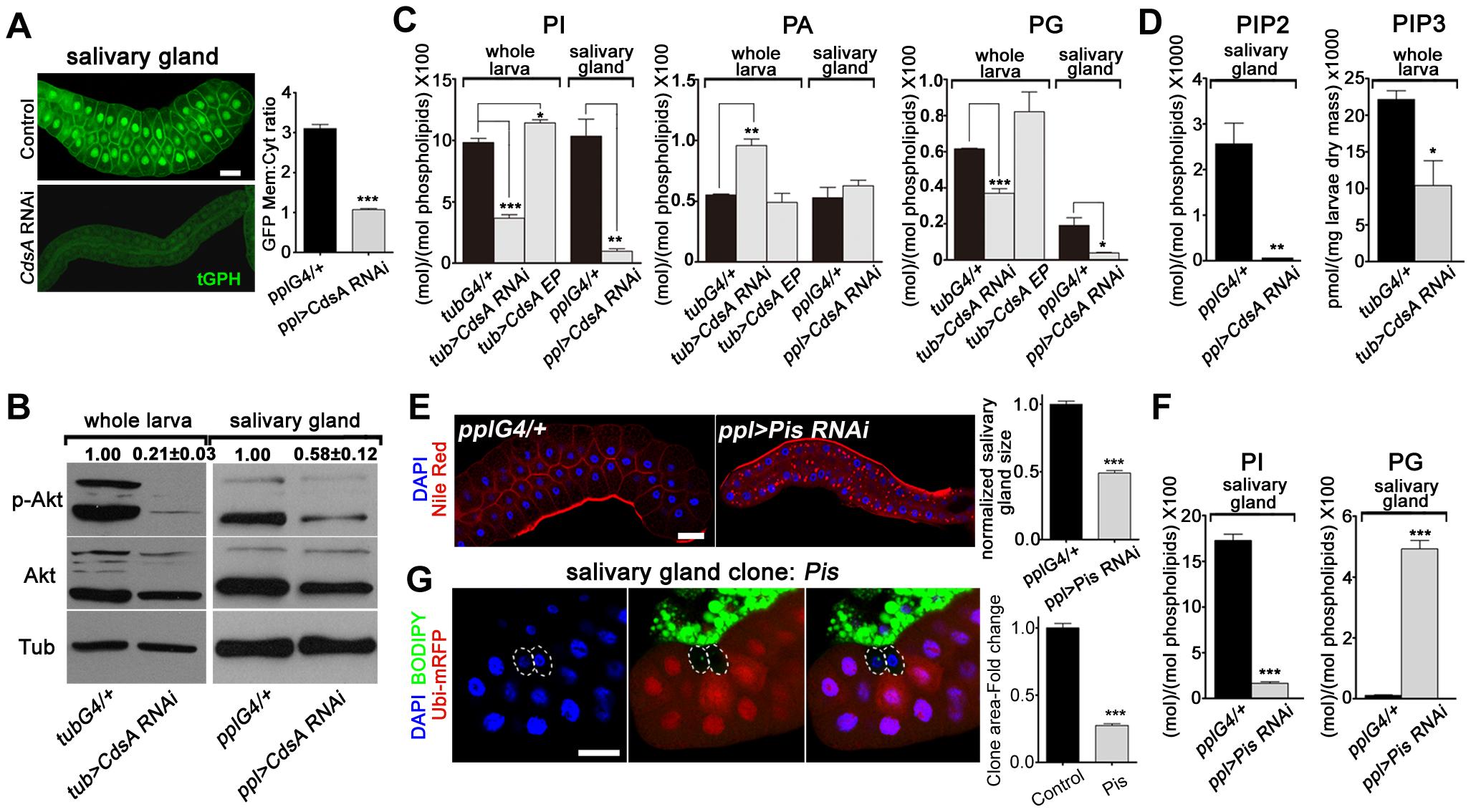 <i>CdsA RNAi</i> affects PI metabolism and insulin pathway activity.
