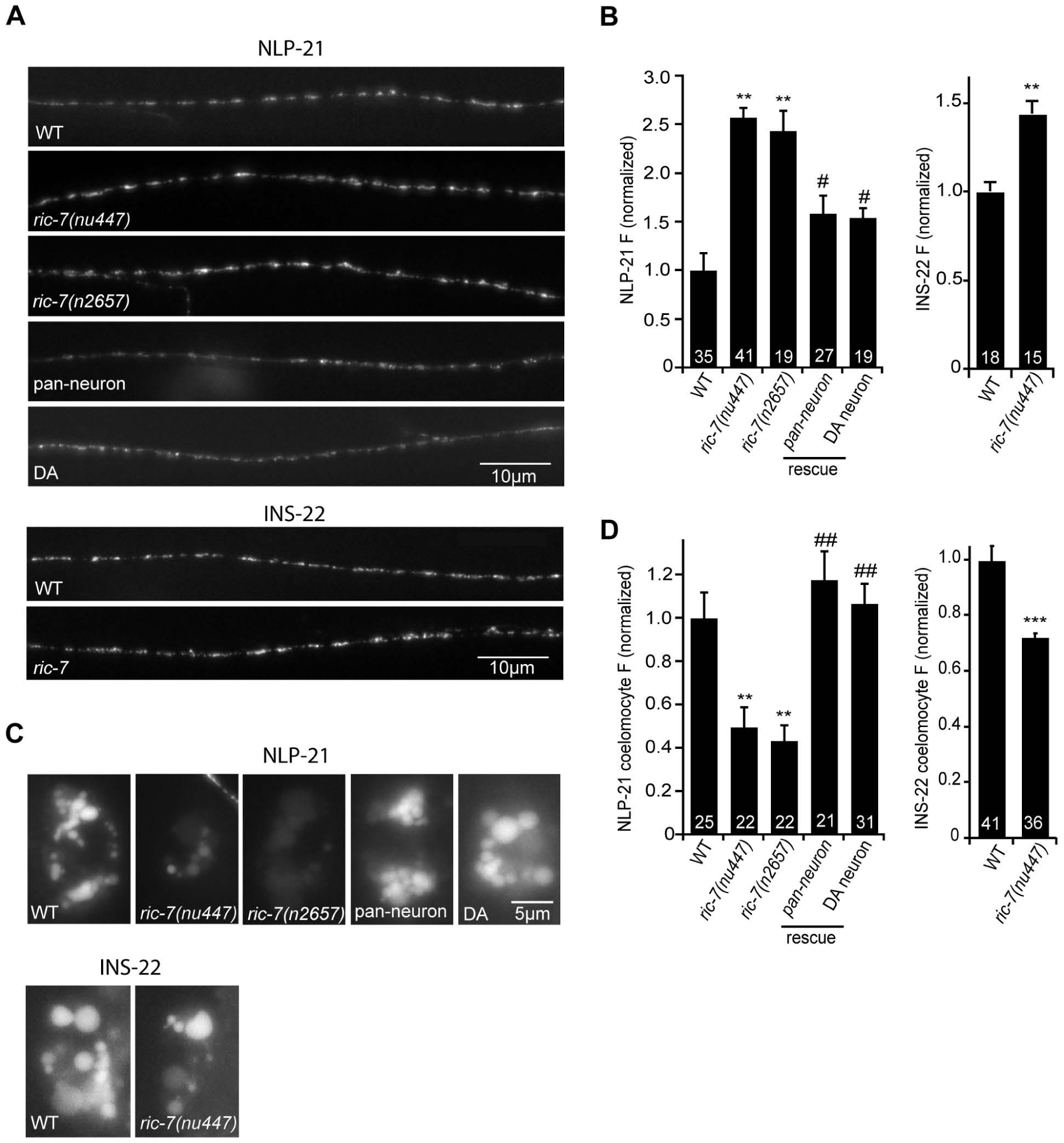 RIC-7 promotes neuropeptide release.