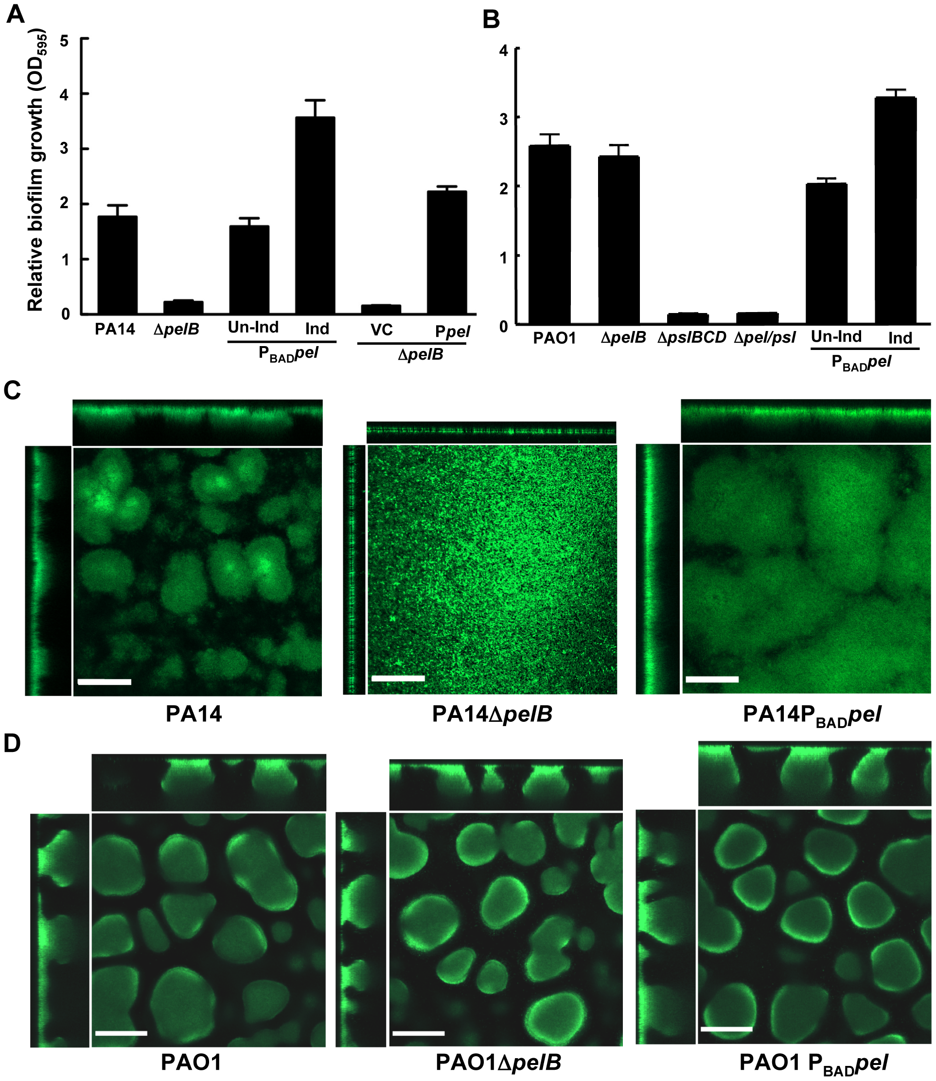 PA14Δ<i>pelB</i> is arrested in the monolayer stage of biofilm development.