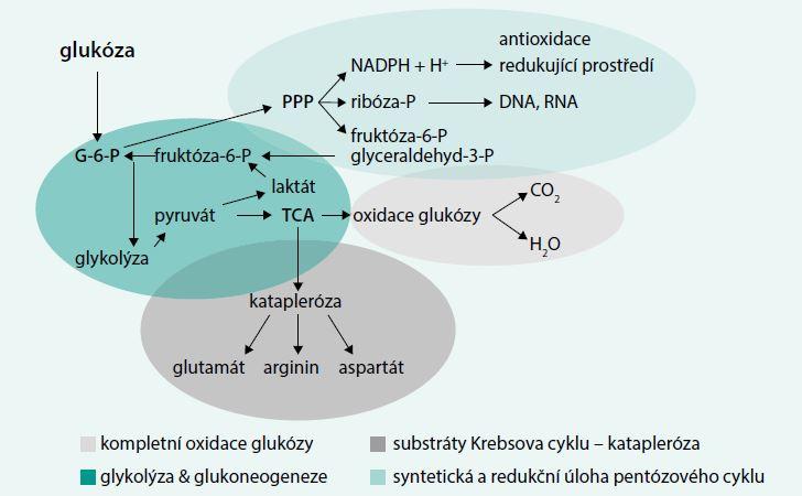 Schéma. Základní možnosti metabolizmu glukózy