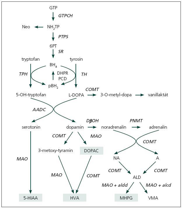 Biosyntéza a degradace monoaminů [15]. Černě a kurzivou jsou zvýrazněny enzymy, u kterých již byla popsána enzymatická porucha. GTP: guanosintrifosfát; NH2TP: dihydroneopterintrifosfát; Neo: neopterin; 6-PT: 6-pyruvoyltetrahydropterin; BH4: tetrahydrobiopterin; qBH2 : quinoid dihydrobiopterin; GTPCH: GTP-cyklohydroláza I; PTPS: 6-pyruvoyltetrahydropterinsyntáza; SR: sepiapterinreduktáza; DHPR: dihydropteridinreduktáza; PCD: pterin-4α-karbinolamindehydratáza  TPH : tryptofanhydroxyláza; TH : tyrosinhydroxyláza; AADC: dekarboxyláza aromatických aminokyselin; DβH: dopamin-beta-hydroxyláza; PNMT: fenyletanolamin-N-metyltransferáza; COMT: katechol-ortho-metyltransferáza; MAO: monoaminoxidáza; L-DOPA: 3,4-dihydroxyfenylalanin; DOPAC: 3,4-dihydroxyfenylacetát; 3MT: 3-metoxytyramin; HVA: kyselina homovanilová; 5-HIAA: 5-hydroxyindolacetát; NM: normetanefrin; M: metanefrin; ALD: intermediární aldehyd (3-methoxy-4-hydroxyfenyl-hydroxyacetát-aldehyd); MHPG: 3-metoxy-4-hydroxy-fenylglycol; VMA: vanilmandlová kyselina; aldd: aldehyd dehydrogenáza (CNS); alcd: alkohol dehydrogenáza (periferie).  Světle zeleným polem jsou označeny ty metabolity, které lze v naší laboratoři stanovit.