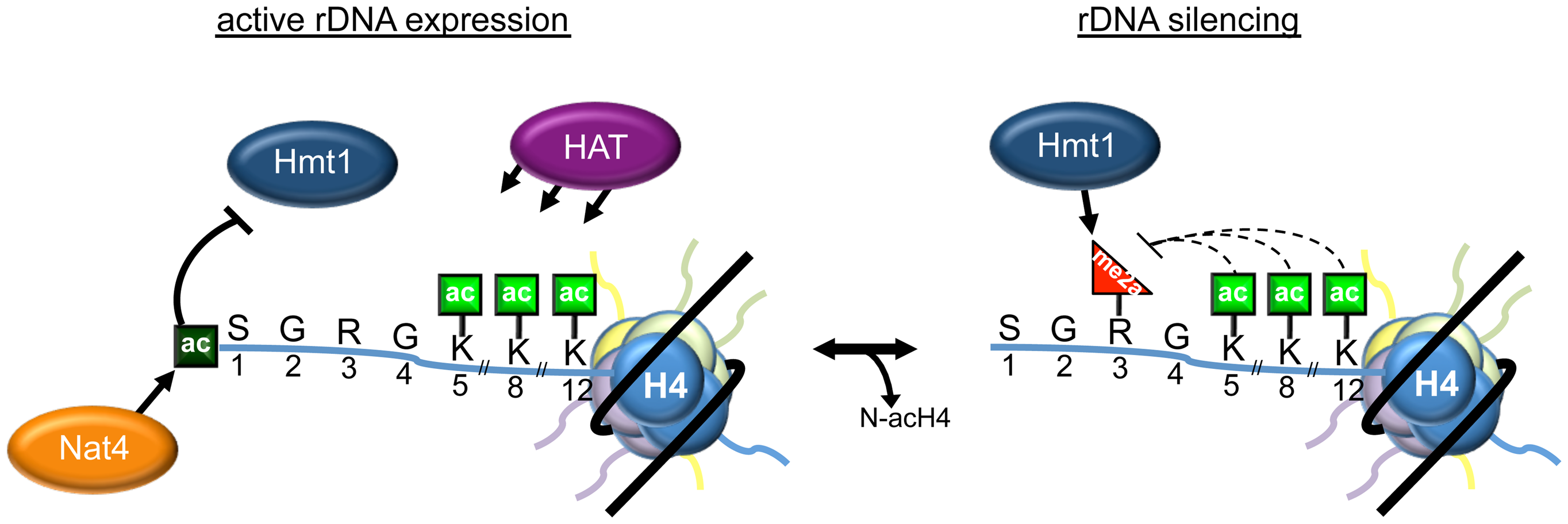 Model depicting the role of N-acH4 in rDNA silencing.